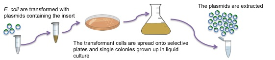 transformation of escherichia coli e coli with High efficiency transformation – automation friendly competent cells  there are  two ways to transform e coli: chemical transformation  found in e coli k12.