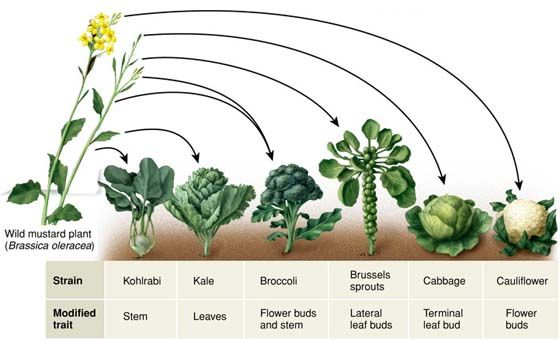 The varieties of Brassica
